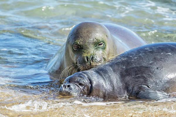 Photograph - Mama Monk Seal And Pup At The Shoreline, No. 2 - Rb00 And Pk1 by Belinda Greb