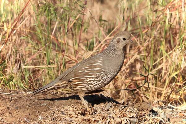 Photograph - Mama Quail In The Cheatgrass by Carol Groenen