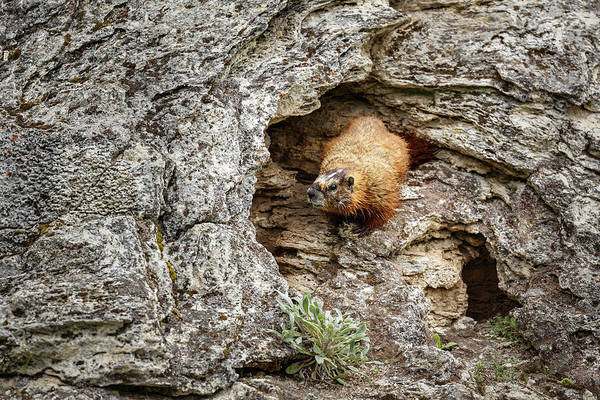Marmot Photograph - Man Cave by Ann Skelton