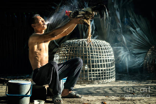 Myanmar Wall Art - Photograph - Man Cleaning Thai Gamecock by Santiphotoss