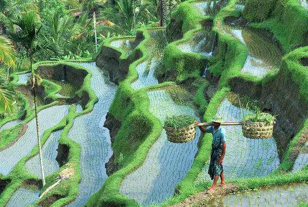 Wall Art - Photograph - Man In Rice Paddies, Bali, Indonesia by Peter Adams