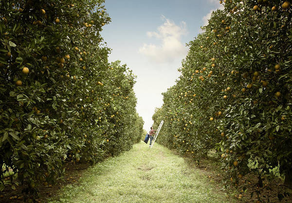Lemon Photograph - Man Picking Lemons by Smari
