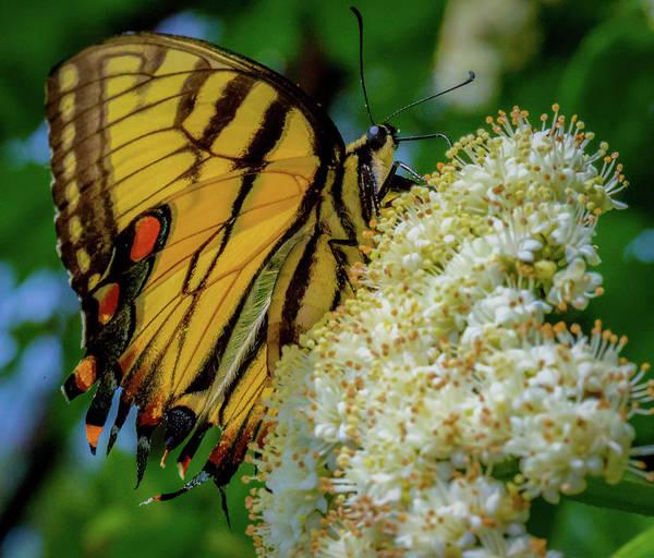 Photograph - Manassas Butterfly by Lora J Wilson