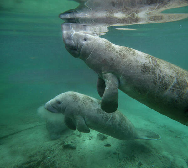 Wall Art - Photograph - Manatee Mother And Calf, Crystal River by