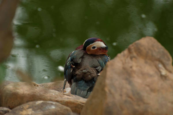 Mandarin Duck Photograph - Mandarin Duck 003 by Chris Flees