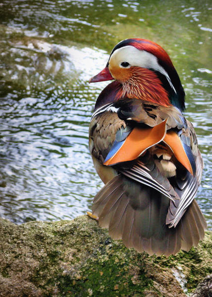 Mandarin Duck Photograph - Mandarin Duck by Digitaler Lumpensammler