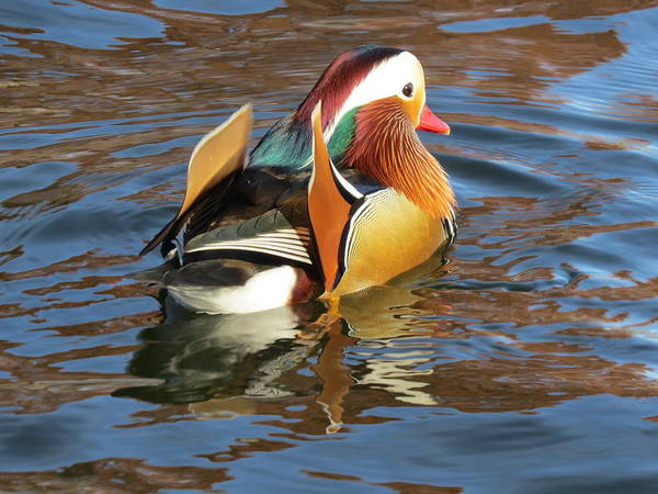 Mandarin Duck Photograph - Mandarin Duck by Jane Linders
