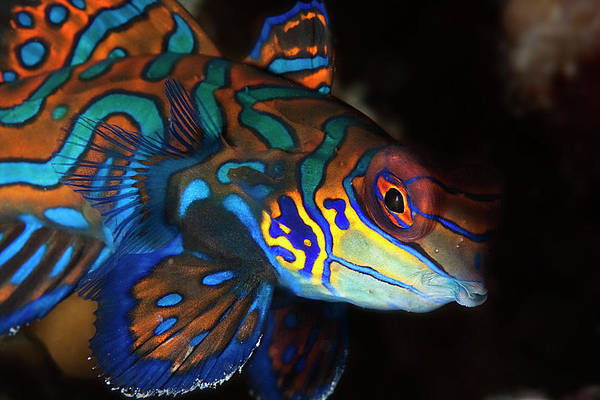 Philippines Photograph - Mandarin Fish by Belive...