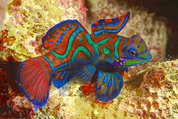 Wall Art - Photograph - Mandarinfish Synchiropus Splendidus Sabang Beach Mindoro Philippines by imageBROKER - SeaTops