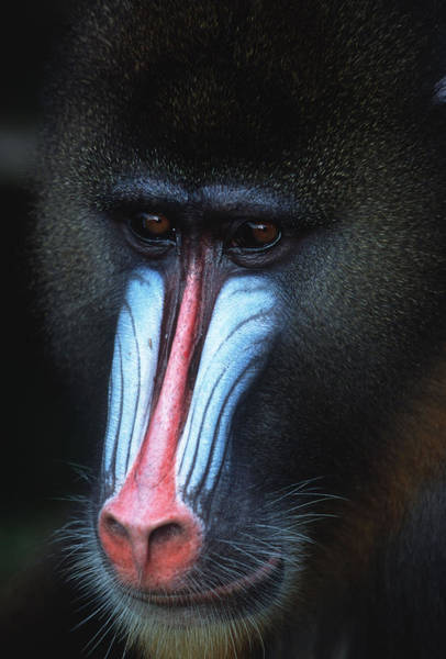 Vertebrate Photograph - Mandrill Mandrillus Sphinx Rainforest by Martin Harvey