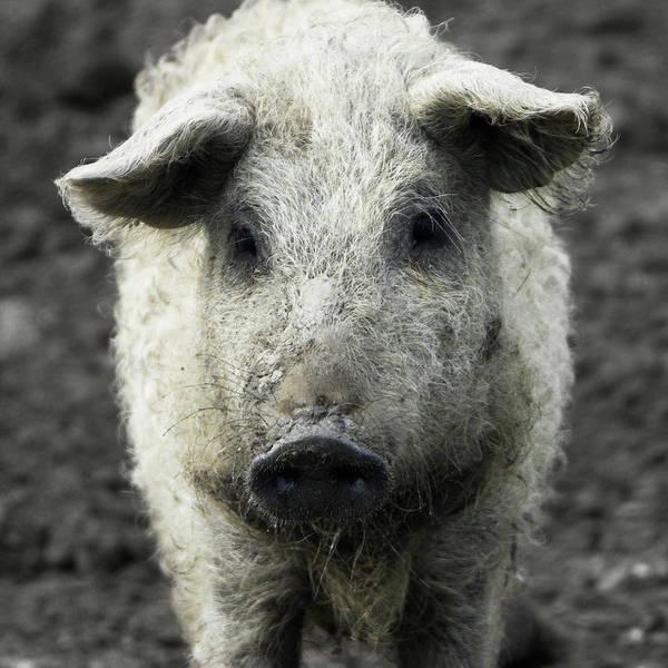 Wall Art - Photograph - Mangalica Pig Portrait by Halfoto.hu