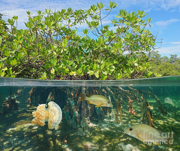 Wall Art - Photograph - Mangrove Above And Below Water Surface by Damsea