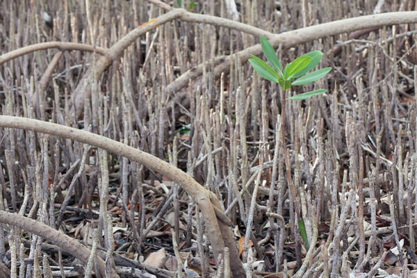 Photograph - Mangrove Sprout by Paul Rebmann