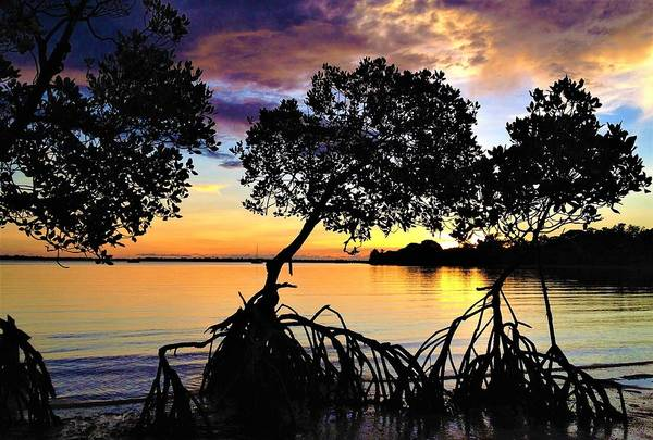 Photograph - Mangrove Sunset by Joan Stratton