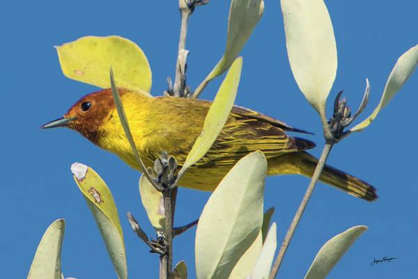 Wall Art - Photograph - Mangrove Warbler by Jurgen Lorenzen