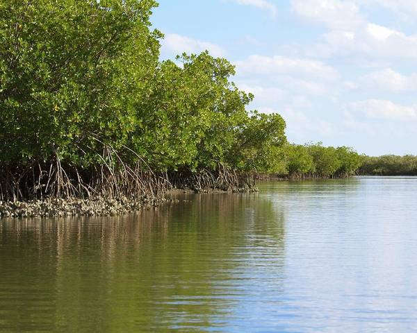 Photograph - Mangroves And Oysters by Paul Rebmann