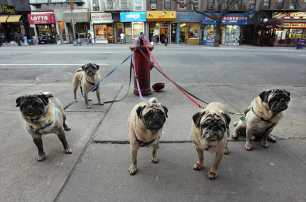 Pug Photograph - Manny Celnicks Five Pugs Look To Be by New York Daily News Archive