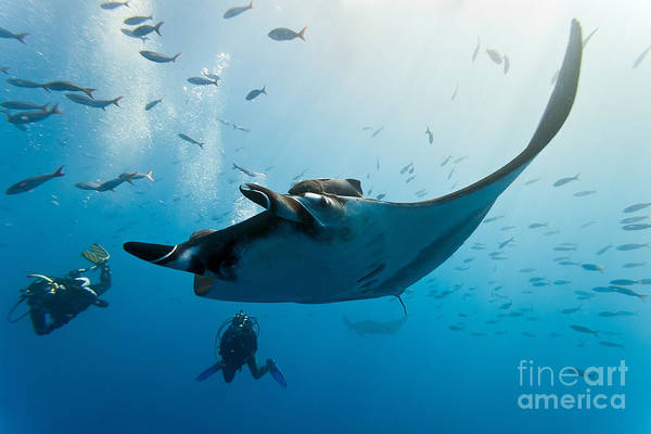 Wall Art - Photograph - Manta And Diver On The Blue Background by Krzysztof Odziomek