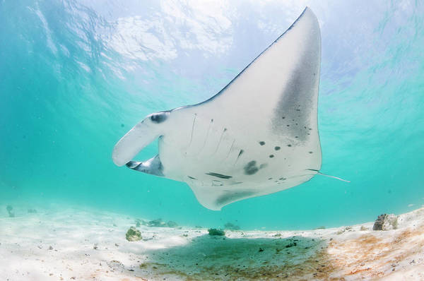 Manta Rays Photograph - Manta by By Wildestanimal