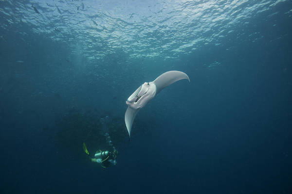 Underwater Diving Photograph - Manta Feeding With Diver by Richard Barnden