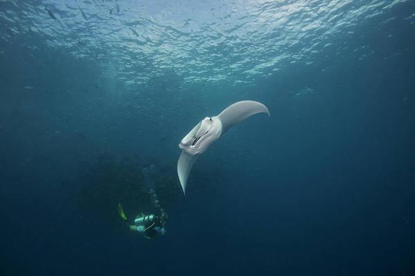 Underwater Photograph - Manta Feeding With Diver by Richard Barnden