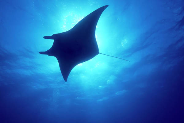 Wall Art - Photograph - Manta Ray, Island Of Yap, Micronesia by Stuart Westmorland