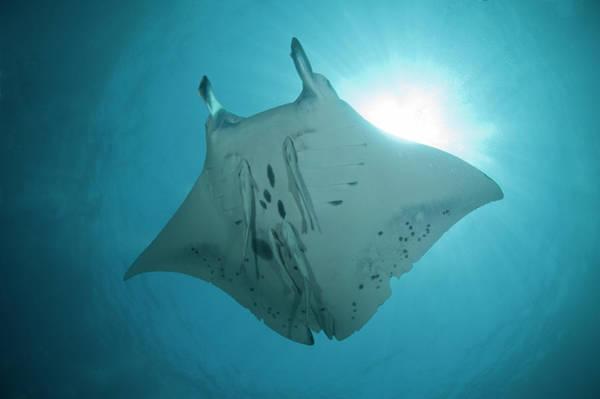 Manta Rays Photograph - Manta Ray by Russell C Gilbert Rcg Maru Photography