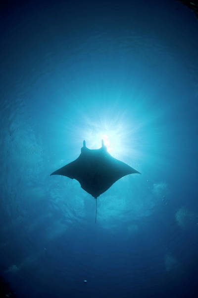 Underwater Photograph - Manta Swimming Underwater, Low Angle by Yusuke Okada/a.collectionrf