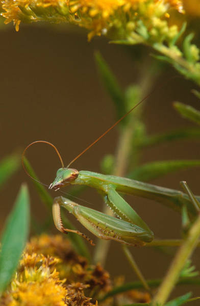 Photograph - Mantis Cleaning Antenna by Michael Lustbader