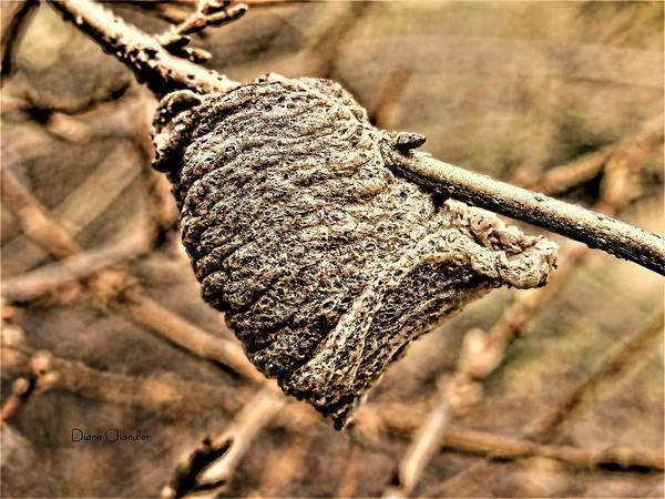Photograph - Mantis Egg Sack by Diane Chandler