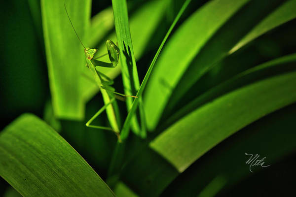 Photograph - Mantis by Meta Gatschenberger