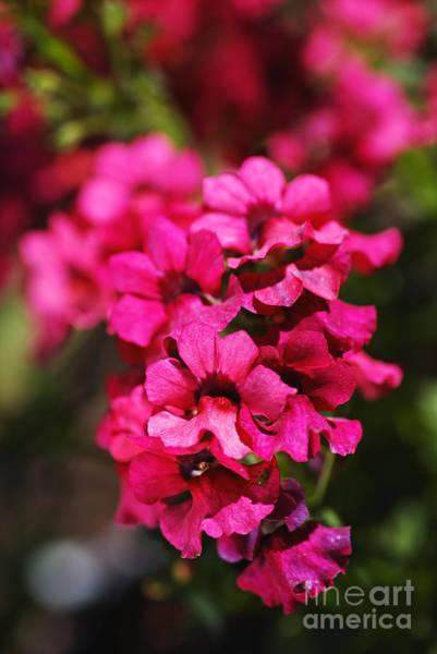 Photograph - Many Small Pink Flowers by Joy Watson