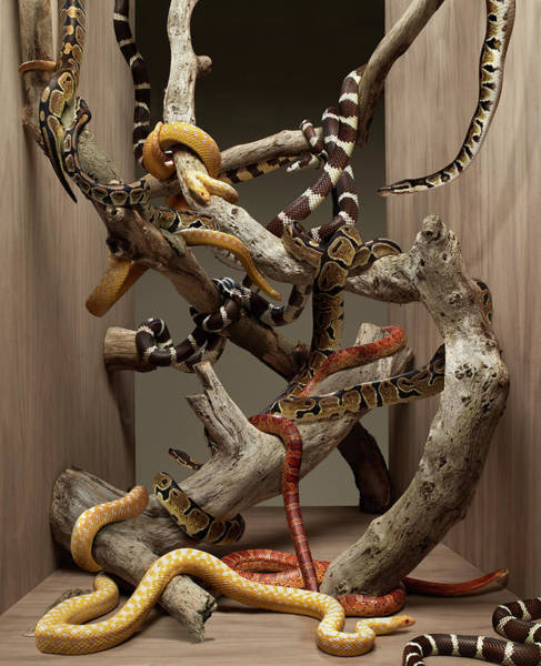 Photograph - Many Snakes Intertwined Amongst Wooden by Michael Blann