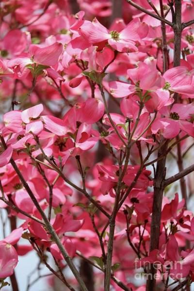 Photograph - Many Spring Pink Dogwood Blossoms by Carol Groenen