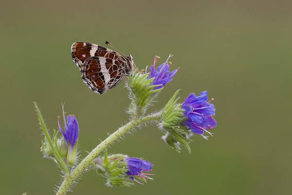 Wall Art - Photograph - Map Butterfly by David Hosking