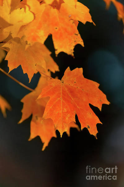 Photograph - Maple-1 by Charles Hite