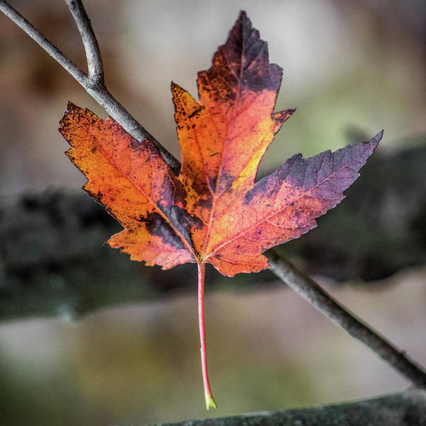 Photograph - Maple 1 by Michael Arend