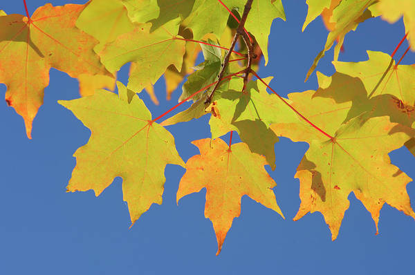 New Hampshire Photograph - Maple Acer Sp. Autumn Leaves Against by Martin Ruegner