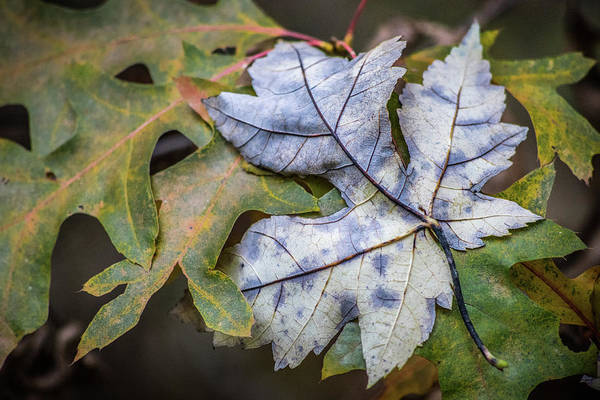 Photograph - Maple And Oak by Michael Arend