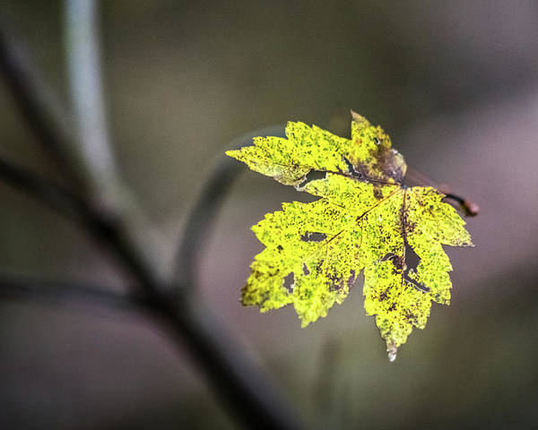 Photograph - Maple Bright by Michael Arend