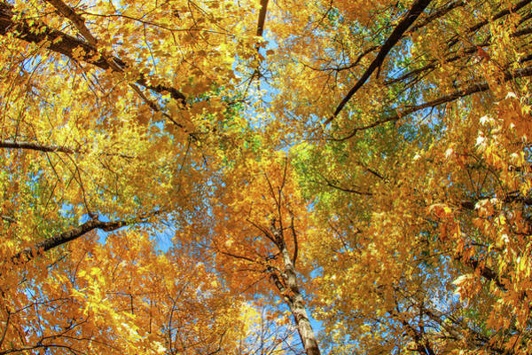Canopy Photograph - Maple Canopy by Todd Klassy