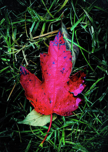 Photograph - Maple Leaf by Allin Sorenson