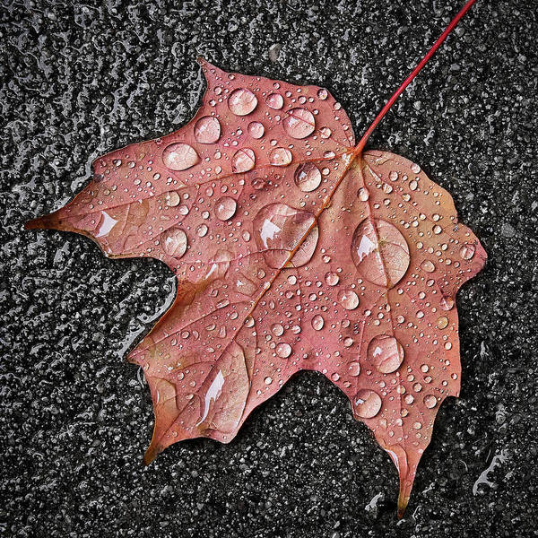 Photograph - Maple Leaf In The Rain by Jim Hughes