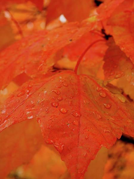 Photograph - Maple Leaf Snow Melt by James Peterson