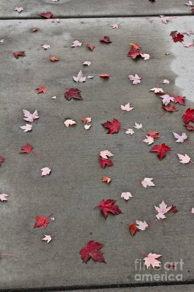 Photograph - Maple Leaf Stroll by Ann E Robson