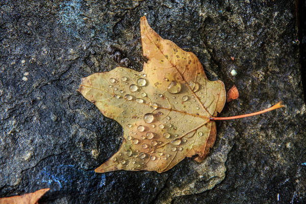 Photograph - Maple Leaf With Dew by Kyle Lee