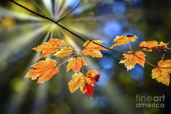 Photograph - Maple Leaves In Autumn On A Tree Branch Illuminated By A Sunburs by Patrick Wolf