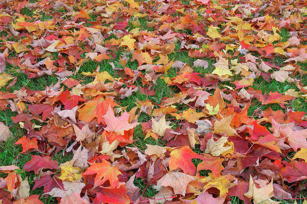 New Leaf Photograph - Maple Leaves On Ground In Autumn by Martin Ruegner