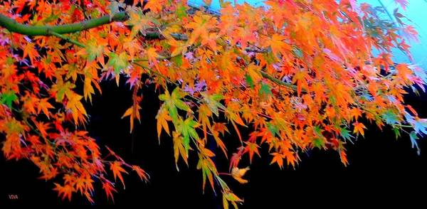 Photograph - Maple Magic by VIVA Anderson