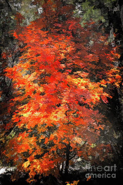 Photograph - Maple by Susan Warren